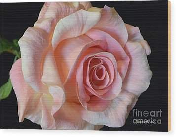 Wood Print featuring the photograph Blushing Pink Rose by Jeannie Rhode