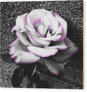 Wood Print featuring the photograph Blushing White Rose by Shawna Rowe