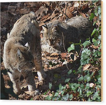 Bobcat Couple Wood Print by Eva Thomas