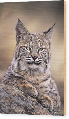 Bobcat Cub Portrait Montana Wildlife Wood Print