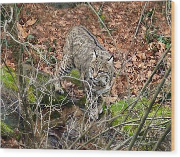 Wood Print featuring the photograph Bobcat by William Tanneberger