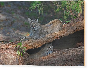 Bobcats At Rest Wood Print by Jean Clark