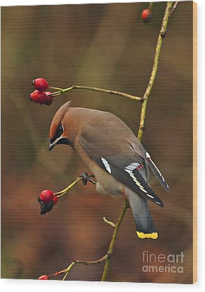 Bohemian Waxwing Wood Print by Paul Scoullar