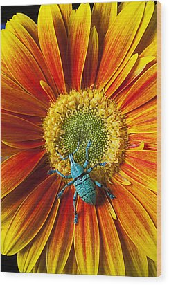 Boll Weevil On Mum Wood Print by Garry Gay