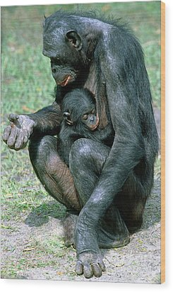 Bonobo Pan Paniscus Nursing Wood Print by Millard H. Sharp