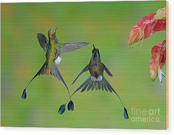 Booted Racket-tail Hummingbird Males Wood Print by Anthony Mercieca