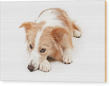 Border Collie Dog Laying Down  Wood Print by Susan Schmitz