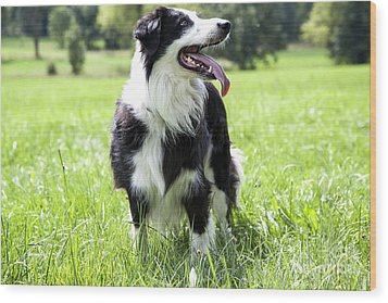 Border Collie In The Nature Wood Print by Regina Koch