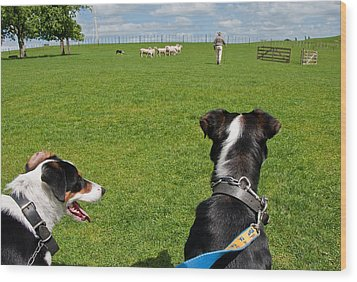 Wood Print featuring the photograph Border Collies by Dennis Cox WorldViews