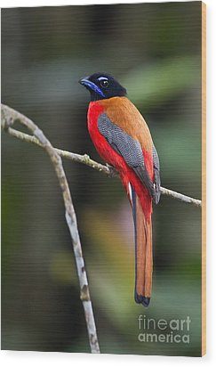Bornean Beauty Wood Print by Ashley Vincent