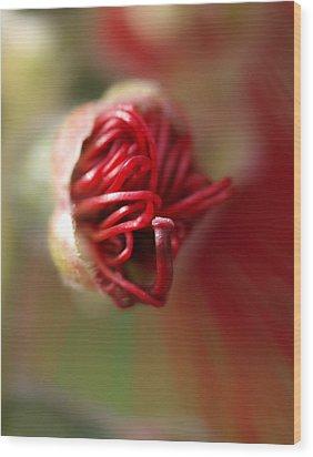 Bottlebrush Bud Wood Print by Michaela Perryman