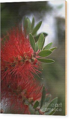 Bottlebrush In Red Wood Print by Joy Watson