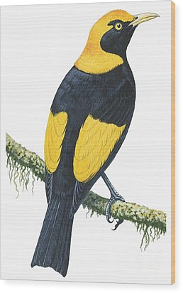 Bowerbird  Wood Print by Anonymous