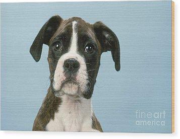 Boxer Dog, Close-up Of Head Wood Print by John Daniels