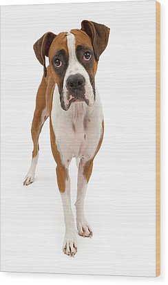 Boxer Dog Isolated On White Wood Print by Susan Schmitz