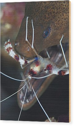 Boxer Shrimp Cleaning In Mouth Of Eel Wood Print by Science Photo Library