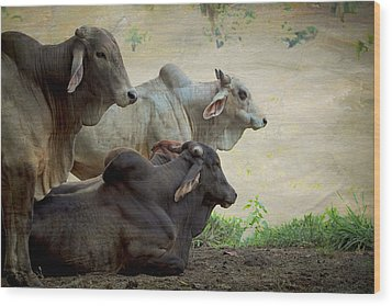 Wood Print featuring the photograph Brahman Cattle by Peggy Collins