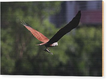 Brahminy Kite With Catch  Wood Print