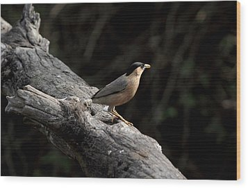 Brahminy Starling Wood Print