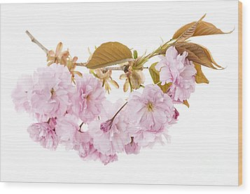 Branch With Cherry Blossoms Wood Print by Elena Elisseeva