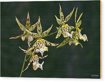 Wood Print featuring the photograph Brassidium Orchids by Aloha Art