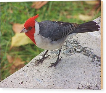 Wood Print featuring the photograph Brazilian Red Capped Cardinal by Brigitte Emme