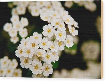 Bridal Veil Spirea Wood Print by Brenda Jacobs