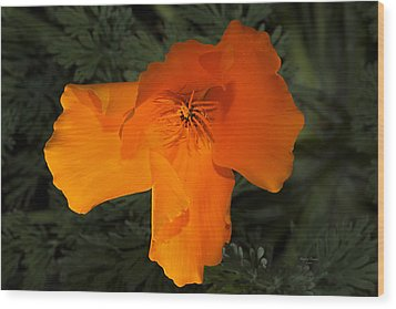 Bright California Poppy Wood Print by Phyllis Denton