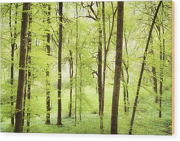 Bright Green Forest In Spring With Beautiful Soft Light  Wood Print by Matthias Hauser