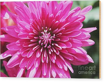 Wood Print featuring the photograph Bright Pink Mum by Judy Palkimas