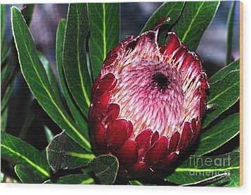 Bright'n'happy Protea Wood Print by Kaye Menner