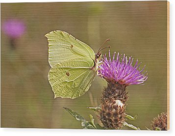 Brimstone On Creeping Thistle Wood Print by Paul Scoullar