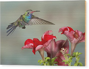 Broad Billed Hummingbird 4 Wood Print