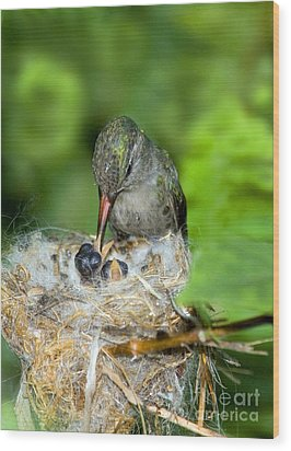 Broad-billed Hummingbird And Young Wood Print by Anthony Mercieca