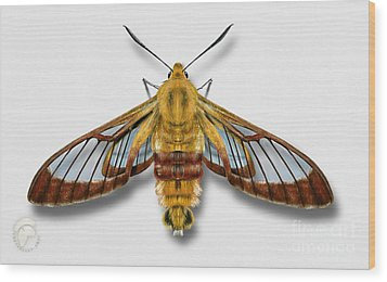 Broad-bordered Bee Hawk Moth Butterfly - Hemaris Fuciformis Naturalistic Painting -nettersheim Eifel Wood Print