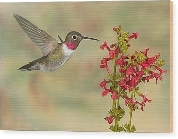 Broad-tailed Hummingbird 5 Wood Print