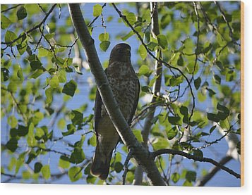 Wood Print featuring the photograph Broad-winged Hawk by James Petersen