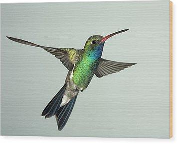 Broadbill Hummingbird Alternate Wing Pose Wood Print by Gregory Scott