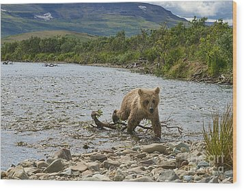 Brown Bear Cub Walking Up Stream Trying Keep Up With Mom Wood Print by Dan Friend