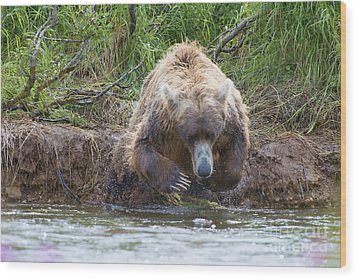 Brown Bear Diving Into The Water After The Salmon Wood Print by Dan Friend