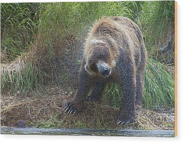Brown Bear Shaking Water Off After An Unsucessful Salmon Dive Wood Print by Dan Friend