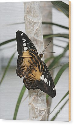 Brown Clipper Butterfly #2 Wood Print by Judy Whitton