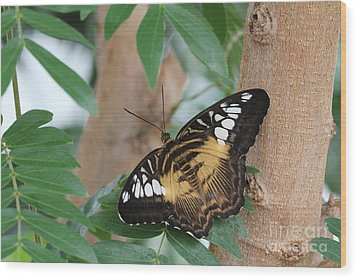 Wood Print featuring the photograph Brown Clipper Butterfly #5 by Judy Whitton