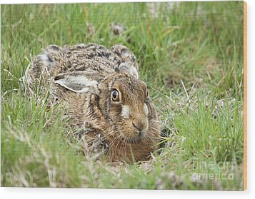 Brown Hare Wood Print by Philip Pound