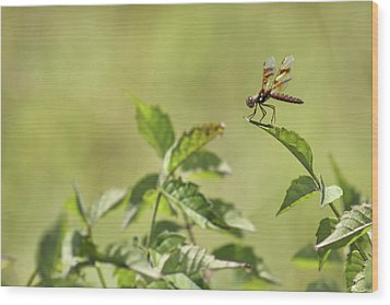 Brown Hawker Dragonfly Wood Print by Jason Politte