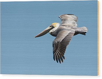 Brown Pelican In Flight Wood Print