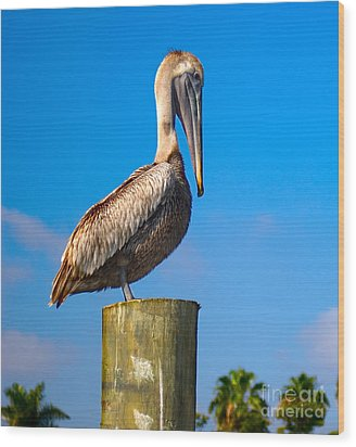 Brown Pelican - Pelecanus Occidentalis Wood Print by Carsten Reisinger