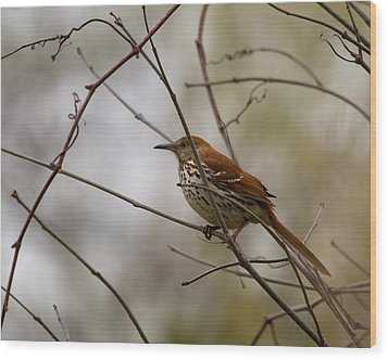 Brown Thrasher Wood Print