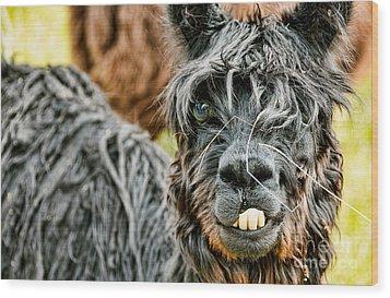 Bucky The Alpaca Wood Print by David Lawson