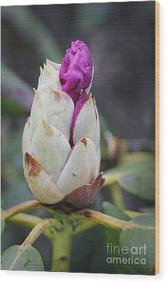 Budding Rhododendron Wood Print by Jonathan Welch